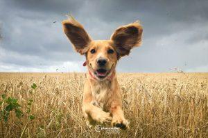 Pharmadiet Veterinaria: Perros y Otitis externa: Cómo cuidar de sus oídos